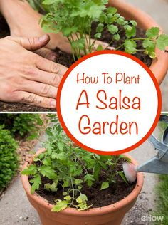 Grow fresh herbs that come together to make the best homemade salsa, all right from your backyard! Container gardens are becoming increasingly popular for people with limited space. Grow everything you need for that tasty salsa in one place: http://www.ehow.com/how_4917540_plant-salsa-garden.html?utm_source=pinterest.com&utm_medium=referral&utm_content=freestyle&utm_campaign=fanpage
