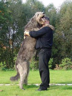 My Fav!!! Irish Wolf Hound, Maybe when i grow up i will get one...