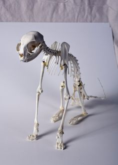 Domestic REAL CAT SKELETON Articulation by WeirdBonesBugs on Etsy Human Skeleton Anatomy, Cat Skeleton, Dinosaur Skeleton, Skeleton Bones, Skull And Bones, Animal Skeletons, Animal Skulls, Cat Anatomy, Animal Anatomy