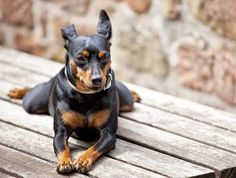 The Miniature Pinscher originated in Germany, and is actually not related to the Doberman Pinscher. The Min-Pins similar look is probably due to sharing a common ancestor - the German Pinscher. Mini Pinscher, Miniature Pinscher, Doberman Pinscher, Best Small Dog Breeds, Best Small Dogs, Akita, Min Pin Dogs, Dog Facts, Dog Leash