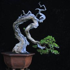Gede Merta is a bonsai artist with a distinctive style and a high degree of mastery. This is a Pemphis acidula. The theme is 'People' Is this because we grow up the first part of our life and then down after that? Or am I missing something obvious?