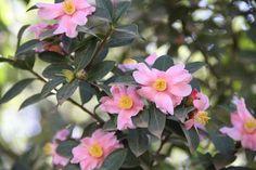 Camellia Saluenensis 'STAPF ex BEAN'