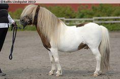 Shetland Pony - stallion Ros-Minor
