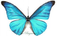 Morphidae : Morpho rethenor rethenor - The Bugmaniac INSECTS FOR SALE