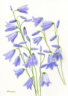 Harebells Painting by Sharon Freeman - Harebells Fine Art Prints and Posters for Sale