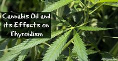 How Cannabis Oil Helped a Woman with Thyroidism