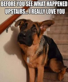 Before you see what happened up stairs... #funny #sweet #sad #cutedogs