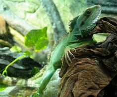 """Search Results for """"chinese water dragon wallpaper"""" – Adorable Wallpapers Chinese Water Dragon, Dragon Pictures, Glass Terrarium, Reptiles, Asian, Nature, Animals, Image, Wikimedia Commons"""