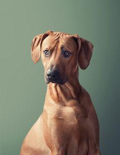 A Rhodesian Rigdeback Loyal Dog Breeds, Loyal Dogs, Dog Photos, Dog Pictures, Puppy Breath, Lion Dog, Dog Books, Man And Dog, Large Dog Breeds
