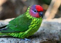 goldie's lorikeet by umpbump on Flickr. I love this kind of bird. quiet, non destructive.must get a pair sometime (s.s-h)