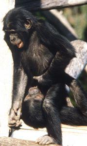 Bonobo oral sex