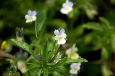 Viola arvensis, Field pansy, Pensée des champs, スミレ科スミレ属 May 2015