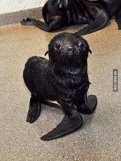 It's a girl!: Newborn fur seal pup at the New England Aquarium