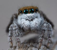 "Scientists recently described seven new peacock spider species, a species known for its dramatic coloration and lively courtship ""dances"" — let the spider dance party commence! Spider Dance, Jumping Spider, Pet Spider, Spider Art, Spider Species, Animals And Pets, Cute Animals, Black Widow Marvel, Prehistoric Animals"