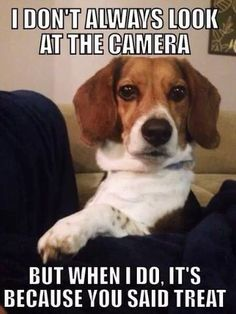 This is Daisy Mae for sure... you say treat and she is ready. :) #beagle
