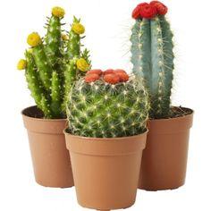 Kaktus mix sorter m/ pynt