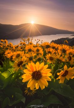 Morning star - This year the Wildflowers are epic in the Columbia River Gorge…