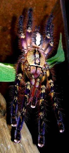 Poecilotheria ornata, Fringed Ornamental tarantula.
