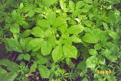 Planta ginseg
