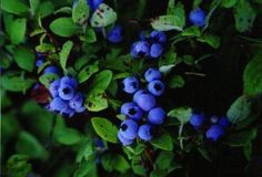 Blueberries in Maine!!! What could be better? acadia national park | Scott Arnold Photography - Scenic Maine