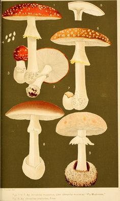 Amanita. Student's hand-book of mushrooms of America edible and poisonous Washington, D.C. :A.R. Taylor,1897-1898. Biodiversitylibrary. Biodivlibrary. BHL. Biodiversity Heritage Library