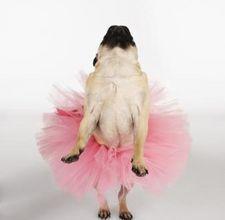 Ballerina pug