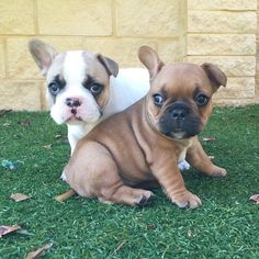 French bulldog puppies for sale in perth