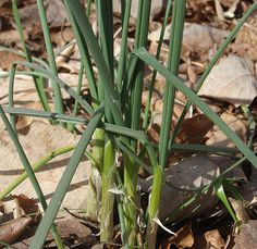 Survival Skills: Finding Winter's Wild Onions