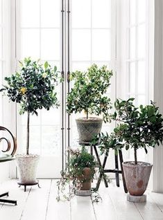 Grow a lemon tree! I'm not sure what's gotten into me lately but I have become obsessed with the idea of growing a lemon tree in my house. After weeks of researching a variety of citrus trees, I decided I. Indoor Trees, Indoor Plants, Potted Plants, Potted Trees, Flowering Plants, Indoor Gardening, Indoor Lemon Tree, Lemon Tree Potted, Jasmine Plant Indoor