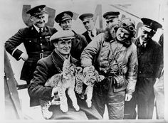 Lions being flown into Croydon Airport. 1932