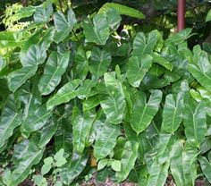 'burle marx' philodendron - ps/shade, 1', sarasota fl person used as ground cover. shiny green foliage