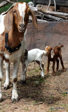 Another Pinner wrote. Baby Goats in the Backyard! How to raise goats in backyard! Farm Animals, Animals And Pets, Cute Animals, Cabras Boer, Billy Goats Gruff, Boer Goats, Raising Goats, Future Farms, Goat Farming
