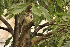 Great spotted woodpecker  #Buntspecht #Great_spotted_woodpecker #Austria #birdwatching #vogelbeobachtung # Birdwatching, Animals, Animais, Animales, Animaux, Animal, Birds