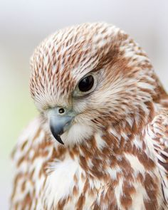 The Falcon Spirit Animal – Healing With Love and Light - Decoration Pretty Birds, Beautiful Birds, Animals Beautiful, All Birds, Birds Of Prey, Rare Animals, Animals And Pets, Wild Animals, Merlin Bird