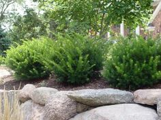Image result for yew varieties zone 7, full sun
