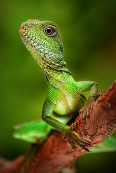 Lizard by Christopher Schlaf