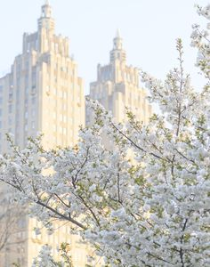 Fuji cherry blossoms in Central Park. Thank you again so much for your kind and generous comments on the book launch! Bloom Book, Spring In New York, 4 Wallpaper, Kind And Generous, City Aesthetic, Aesthetic Pics, Honeymoon Places, White Cherries, Black And White Background