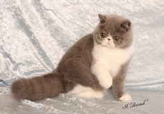 exotic shorthair cat PauPau Angel Exotic and Shorthair Kittens Showing Pretty Cats, Beautiful Cats, Animals Beautiful, Cute Animals, Teacup Persian Cats, Himalayan Persian Cats, Types Of Cats Breeds, All Cat Breeds, I Love Cats