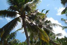 Auf Bali gibt es Palmen soweit das Auge reicht. Bali, World Pictures, Plants, Travel, Pictures, Indonesia, Eye, Travel Report, Island