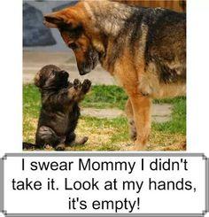 Cutest German Shepherd puppy on Pinterest | German ...