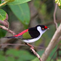 Male Pin-Tailed Manakin (Ilicura militaris)