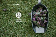 cyclades organics syros herbs www.cycladesorganics.gr