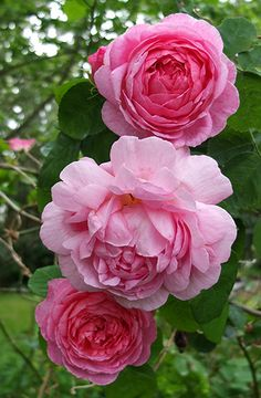 I think of Constance Spry as the mother of all English roses - these were introduced to the rose world by Englishman David Austin. I have one Constance Spry which sprawls over the fence behind the Septic Tank Garden.