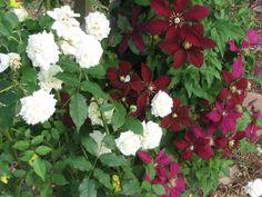 Mix climbing Roses and clematis