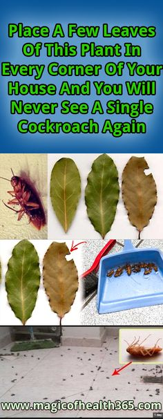 Place A Few Leaves Of This Plant In Every Corner Of Your House And You Will Never See A Single Cockroach AgainNo matter how clean you keep your house, you can still have a roach problem.Nobody wants their sweet homes to get occupied by the roaches. Bay Leaves, Plant Leaves, Home Remedies, Natural Remedies, Roach Remedies, Health Remedies, Hygiene, Pest Control, Smart Home