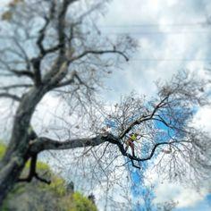 Regrann from @giuliofalcone -  #lavoriinfunesnc #treeclimbing #treeclimber #treeclimb #arrampicata #potatura #castagno #lavoriinquota #rope #ropeaccess #ropeaccesstechnician #petzlprofessional #petzl #petzlgram #albero #climbing #klettern #tree #arborist #stihl #gopro #goprohero4 #stihlchainsaw #pfanner #edelrid #climbingtechnology #chainsaw #silky #zigzag #petzlzigzag www.infune.it