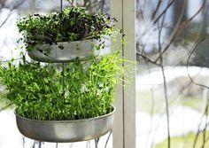 Kasvata versoja vanhoissa kakkuvuoissa. Saat versoista satoa jo parissa viikossa. Katso ohje Viherpihasta ja tee itse!