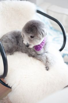 #toypoodle #silverpoodle w/warm scarf ♥  #tonet chair #kashwere