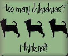 NEVER enough Chihuahuas!!!