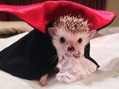 46 Happy Images - This cute hedgehog dressed as Dracula for Halloween.